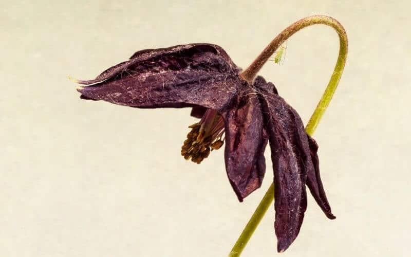 pests killing columbine plant
