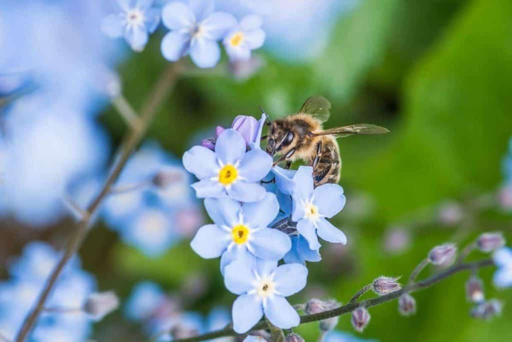 Are Forget-Me-Nots Bees Friendly