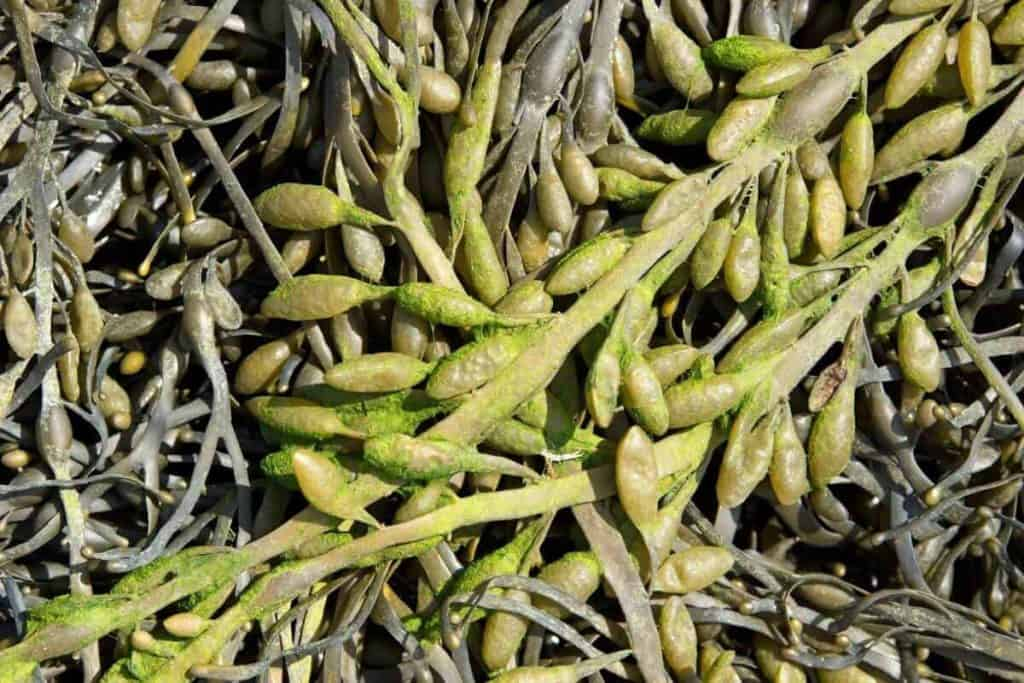 Are Seaweed Fertilizers Beneficial for All Plants