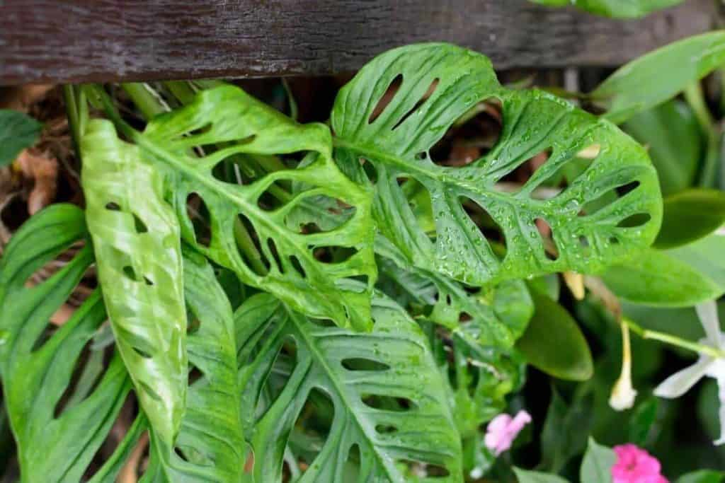 How to Prune Monstera Epipremnoides