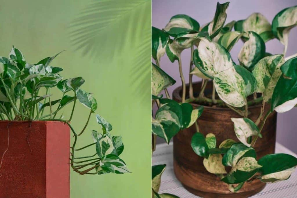 Difference Between Manjula Pothos and Marble Queen