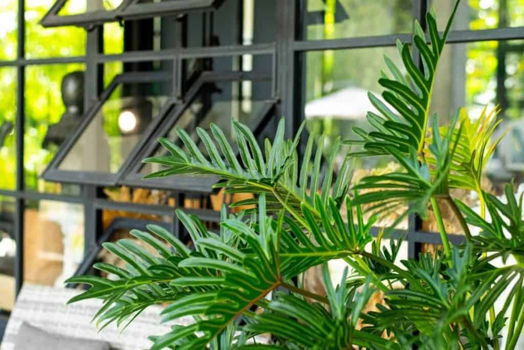 Philodendron Jungle Boogie Vs Xanadu