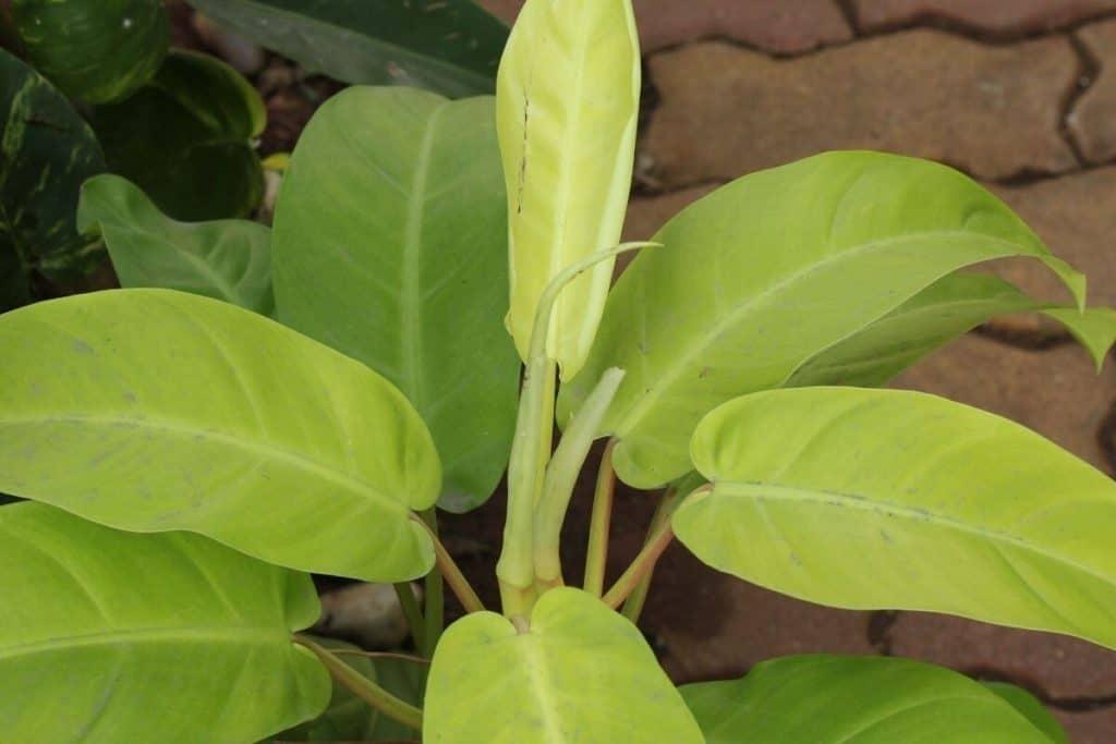 Philodendron Thai Sunrise Care
