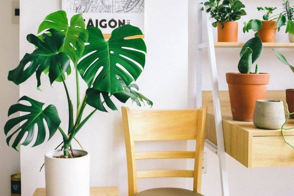 Similarities Between Philodendron and Monstera