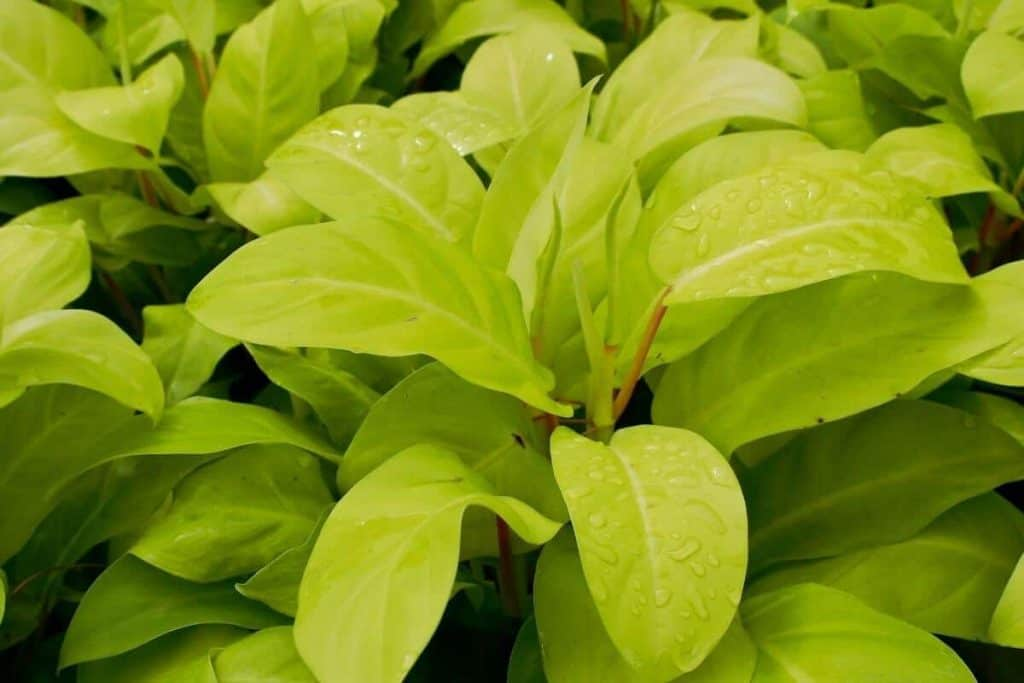 What Is Philodendron Thai Sunrise