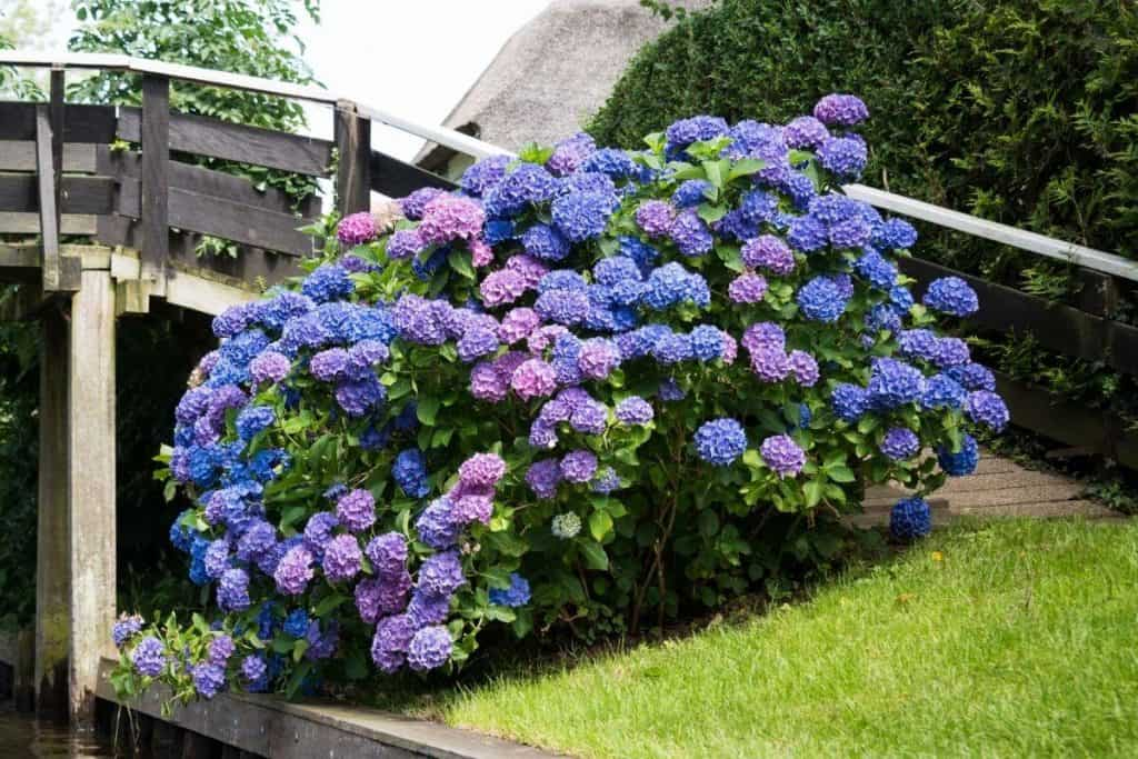 What Side Of The House Do You Plant Hydrangeas