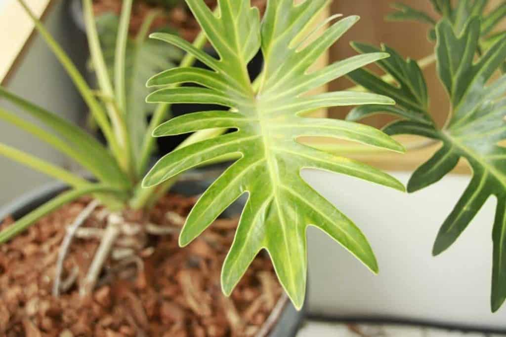 What is Philodendron Mayoi