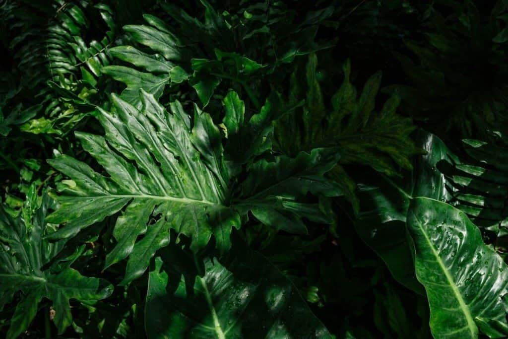 What is Philodendron Selloum